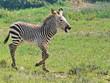 Freude am Leben - Zebra Baby