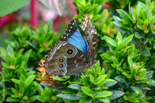 Fototapeta Colorful blue butterfly resting on a plant