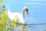 Swan on the lake in spring sunny day - 204378452