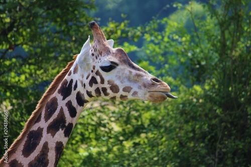 Fototapeta Giraffe steckt die Zunge raus