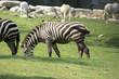 close up of a zebra in a meadow