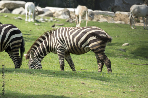 Fototapeta close up of a zebra in a meadow