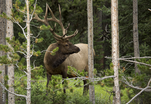 Foto Murales Bull Elk in the Woods