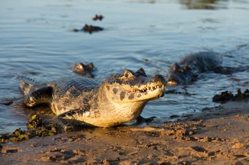 A large caiman, Caiman latirostris, walks down the beach to enter the Cuiaba River.