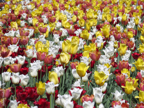 Plexiglas Tulpen White, red and yellow tulips. Field of tulips, colorful floral background