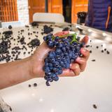 tri du raisin pendant les vendanges - 204399231