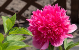 Beautiful peony blooming in allotment