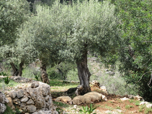 Aluminium Khaki Sheep in Mallorca