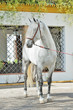 pure spanish grey stallion, Andalusian posing near traditional spanish building