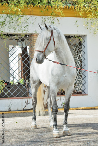 Plexiglas Paarden pure spanish grey stallion, Andalusian posing near traditional spanish building