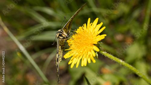Plexiglas Vlinder Schwalbenschwanz von vorne auf Löwenzahn