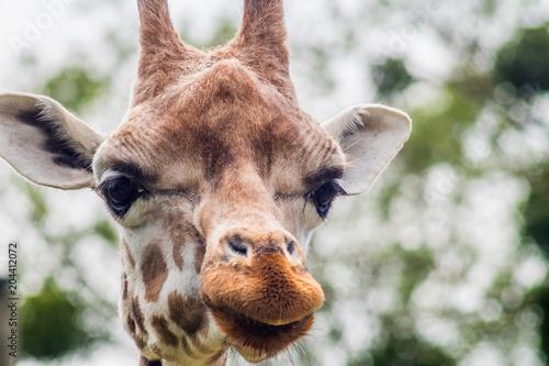 Fototapeta głowa żyrafy