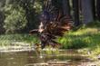 Seeadler badet im See