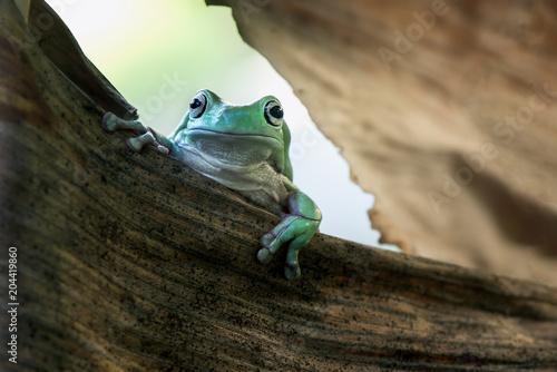 Fotobehang Kikker Frog in dry leaf