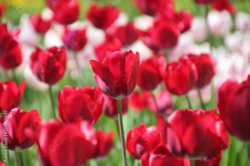 Plexiglas Tulpen Tulips in many colors in sunlight