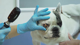 Veterinarian checks the eyes of a dog. Veterinarian ophthalmologist doing medical procedure, examining the eyes of a dog in a veterinary clinic. Healthy dog under medical exam.