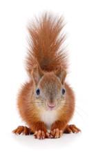 Eurasian Red Squirrel Sticker