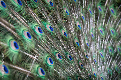 Plexiglas Pauw Peacock feathers
