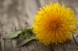 Medicinal dandelion