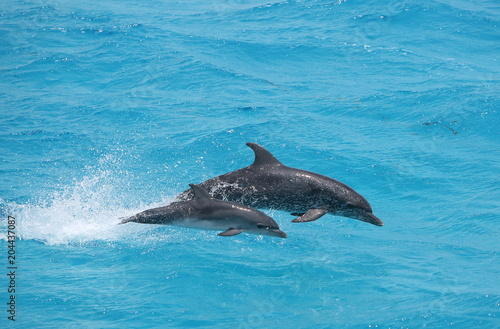 Plexiglas Dolfijn Adult and baby dolphin