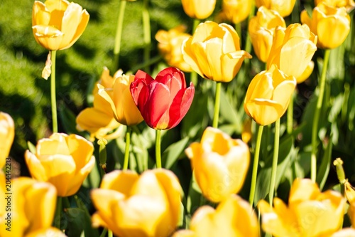 Plexiglas Zwavel geel Beautiful spring yellow and red flowers at Boston Common Park