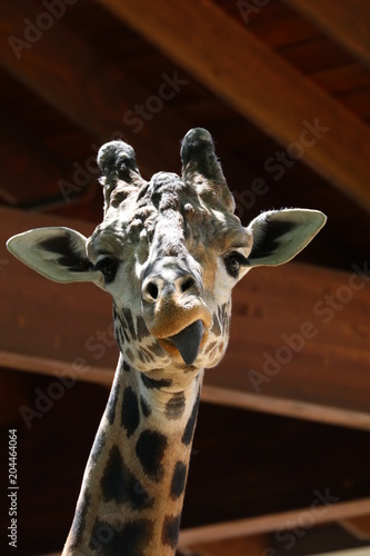Fridge magnet Giraffe Eating
