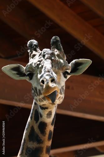 Fototapeta Giraffe Eating