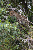 African leopard in ambush on a tree. Masai Mara, Kenya
