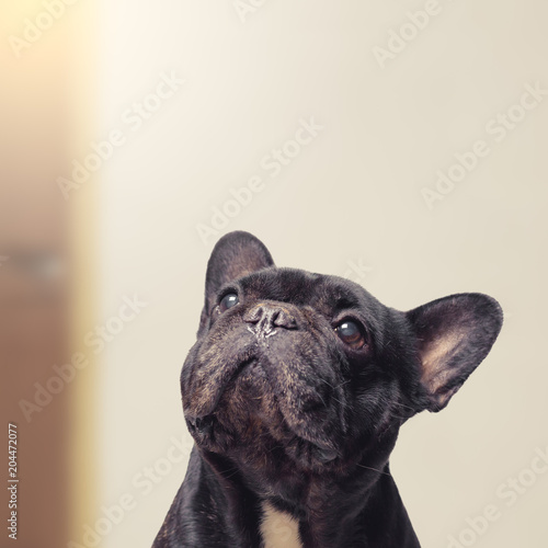 Plexiglas Franse bulldog Close-up view of funny and adorable french bulldog , 12 years old , looking up
