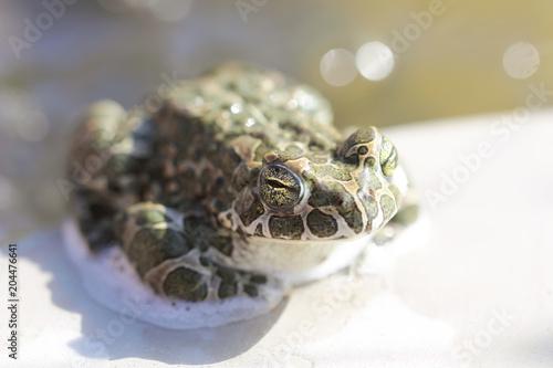 Plexiglas Kikker лягушка сидит на солнце около воды