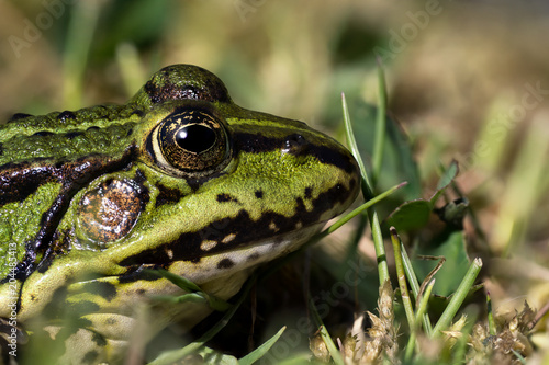 Plexiglas Kikker Close up photo of a green frogs head with large DOF seen from the side