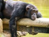 Chimpanzé à dos argenté - 204489038