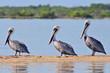 Quadro A row of brown pelicans in the Rio Lagartos Natural Reserve, Mexico.