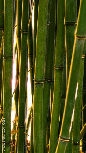 Plexiglas Bamboe Bambus im Sonnenuntergang