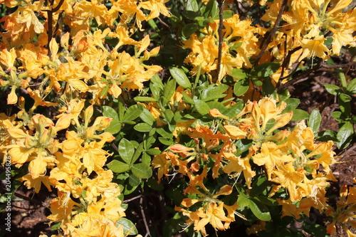 Plexiglas Azalea Bright yellow azalea