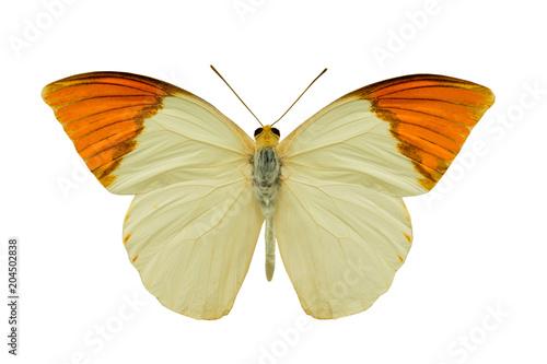 butterfly hebomoia glaucippe aturia - 204502838