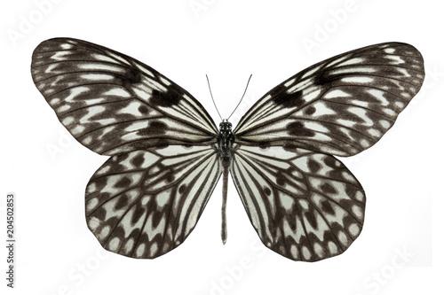 Plexiglas Vlinder butterfly Idea leuconoe