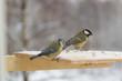 Tit bird on the bird feeder in winter