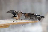 fight between two gray bullfinches in winter