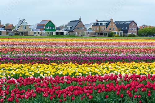 Plexiglas Tulpen Colorful tulip fields in front of the holland country houses.