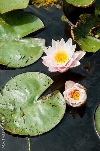 Fotobehang Zen Water Lilly in English Pond