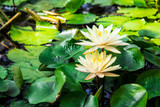 water lilies lotuses greens lake flowers