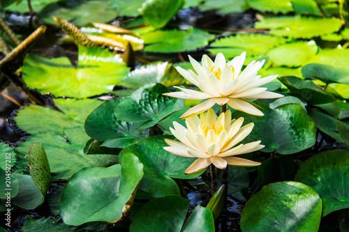 Fototapeta water lilies lotuses greens lake flowers