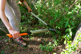 Cut with bypass lopper old shoots of shrubs / Ligustrum / - 204529639