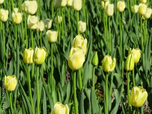 Plexiglas Tulpen Yellow tulips in field