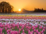 Sunrise over Mt. Hood with Tulips