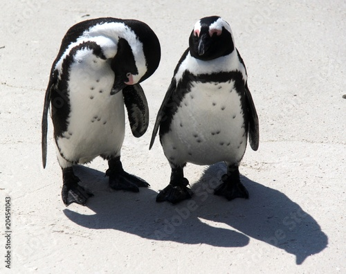 Aluminium Pinguin Jackass penguins in South Africa