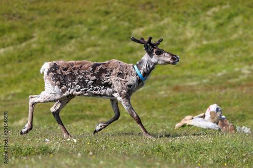 Fotobehang Hert Reindeer change the winter fur