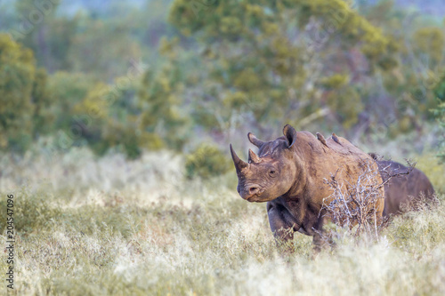 Plexiglas Neushoorn Black rhinoceros in Kruger National park, South Africa