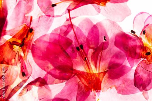 Plexiglas Azalea azalea flowers on the white